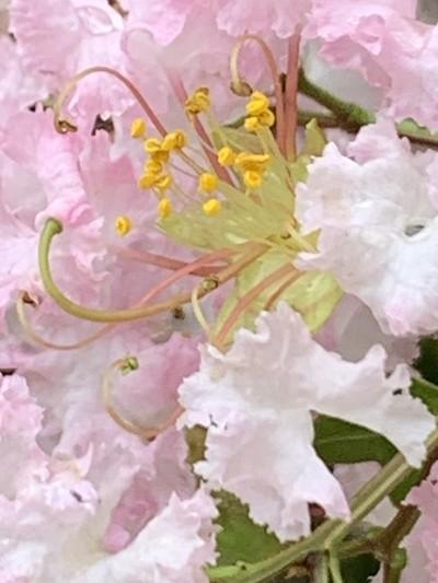Crepe Myrtle Blossom