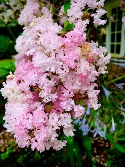 Crepe Myrtle tree branch in bloom. A South Louisiana summer treat!