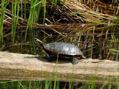 The turtle...