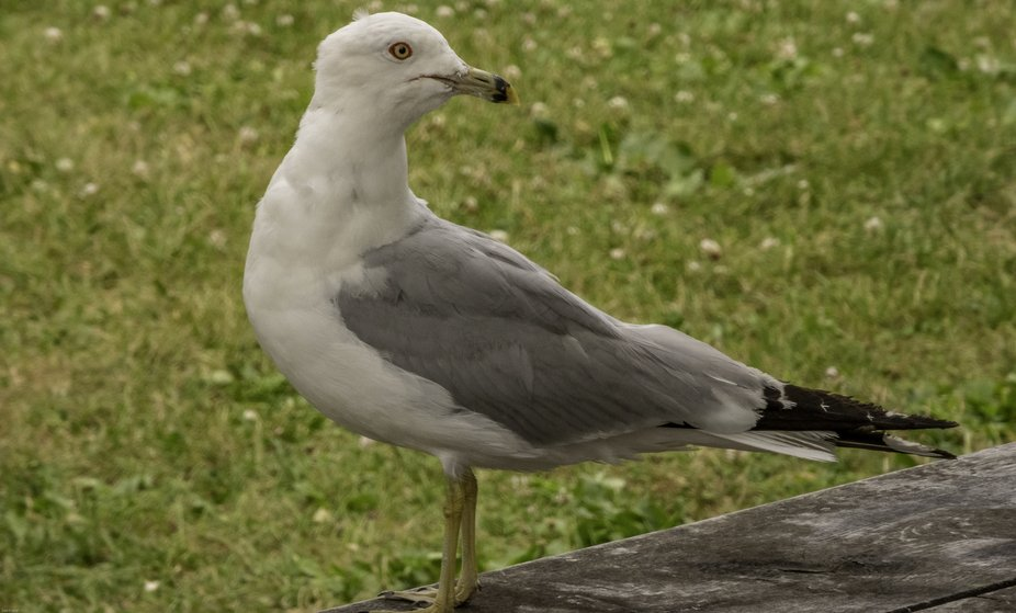 Sea Gull waiting around where humans gather for food