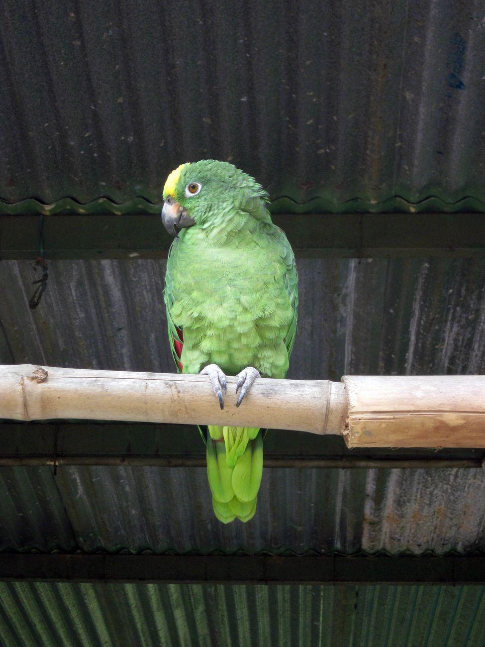 Green parrot