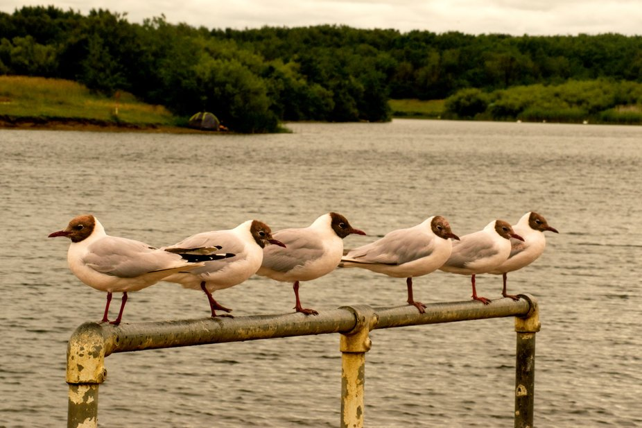 Birds lined up of handrail.