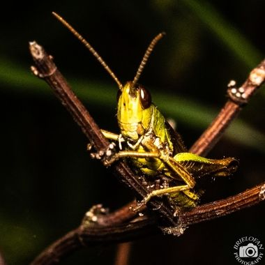 grasshopper-scur-2591