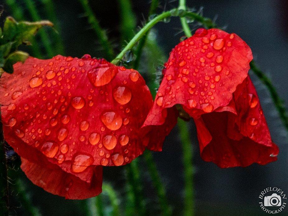 poppy-cr-2455