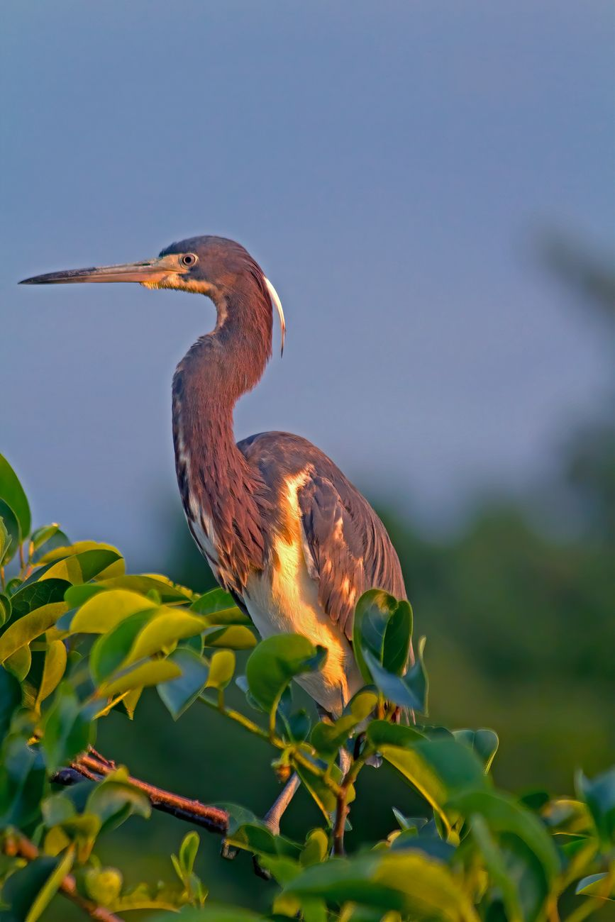 Tricolor heron in the Florida sunrise at Wakodahatchee Wetlands.