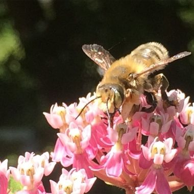 The bees are loving the blossoms on my milkweed plants.