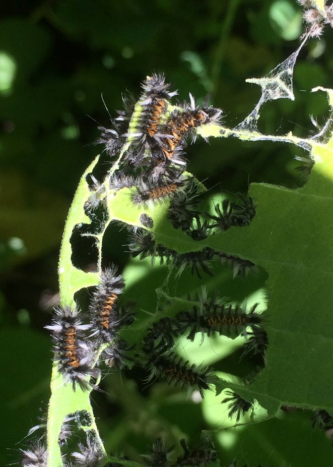 So many tiger striped caterpillars that will turn into a moth with the same colors on its body.