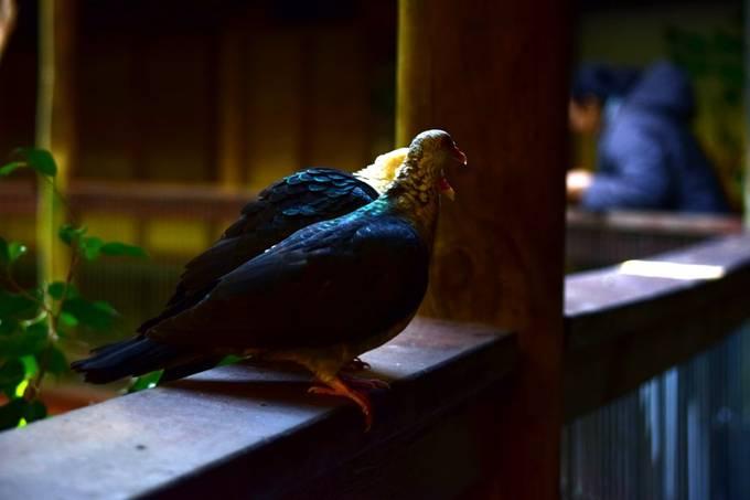 White Headed Pigeon