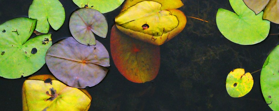 A pond's dark water frames these colorful lilies .