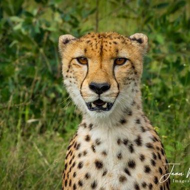 Young Cheetah Portrait 2