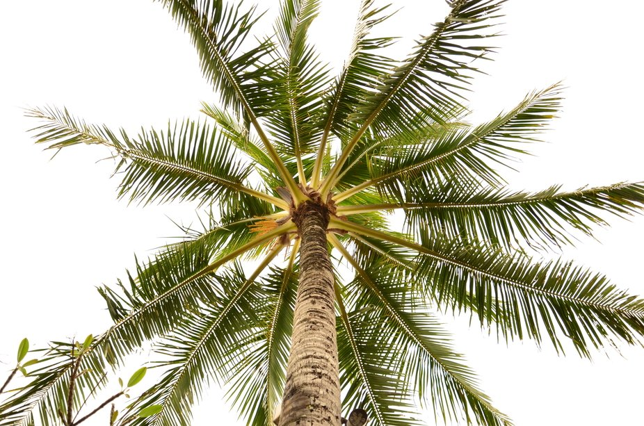 Palm tree at Kaua'i at Coconut Beach Hotel (Kapa'a, Kaua'i Hawaii - 20...