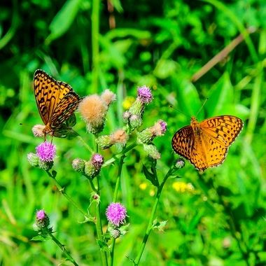 Butterflies on the thistles
