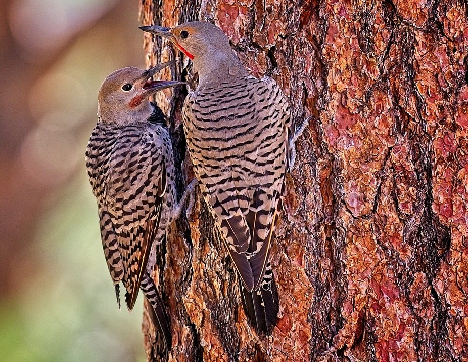 Two flicker woodpeckers having a discussion on a ponderosa pine tree near Woodland Park, Colorado