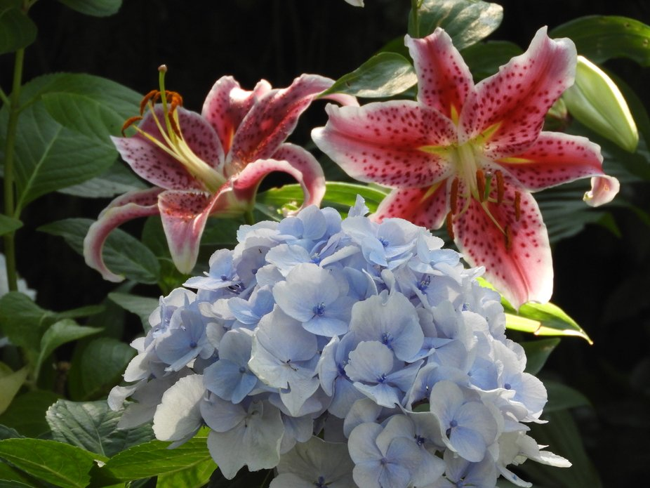 Asiatic Lillies and Hydrangea in my yard 2020