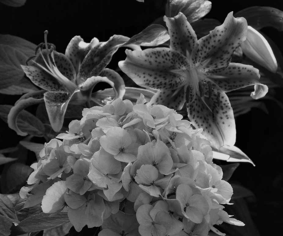 b and w lilies and hydrangea in my yard 2020