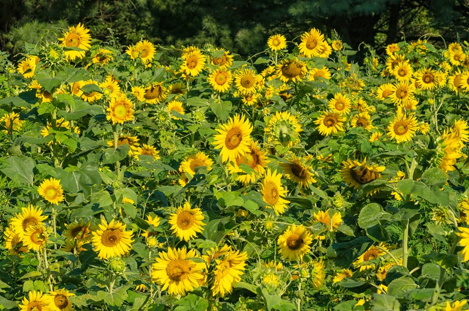 nothing quite like a field of sunflowers to make you smile.