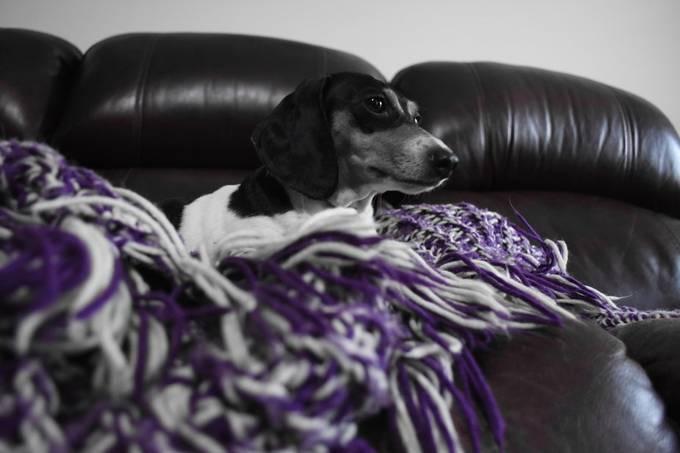 My miniachure dachshund