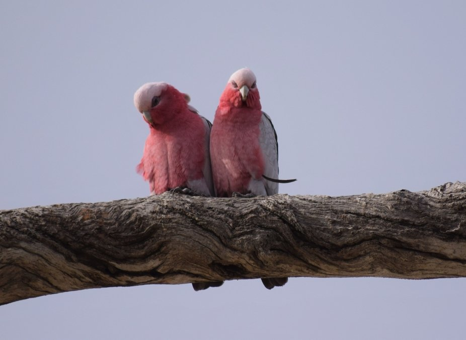 Two galahs on a tree trunk