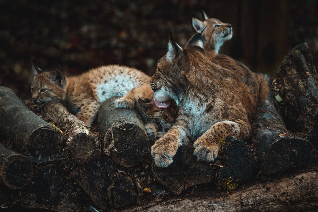 Lynx family tenderness