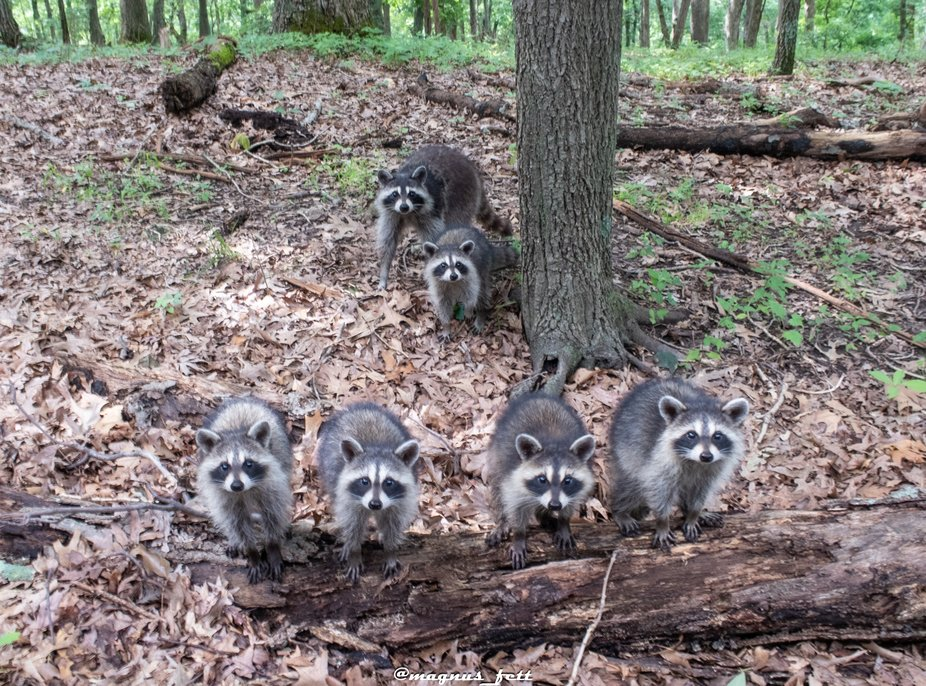 A family of raccoon
