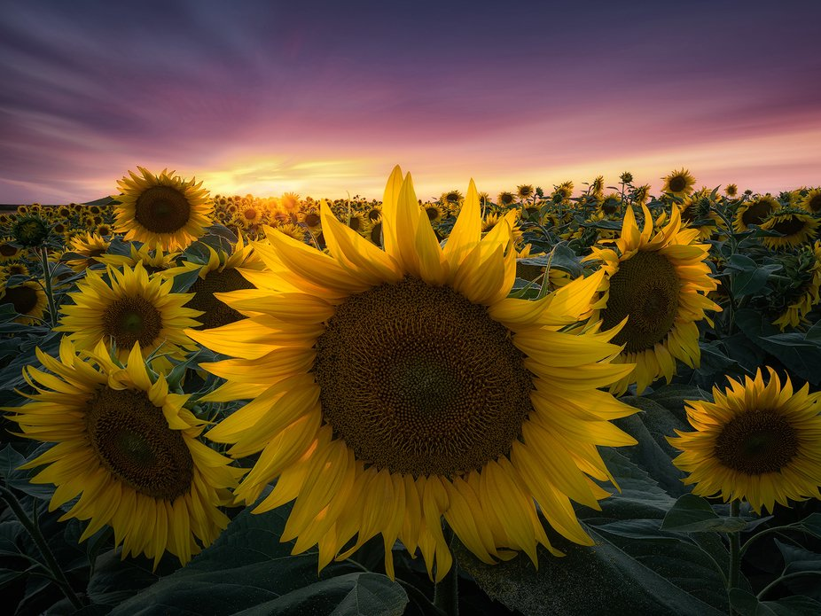 This photo was taken in the most beautiful sunflowers field I ever seen in Italy.