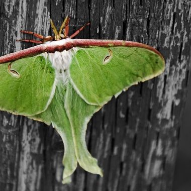 A Luna Moth on a wooden post.