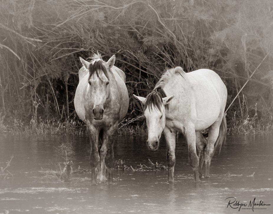 Wild horse gathering on the Salt River