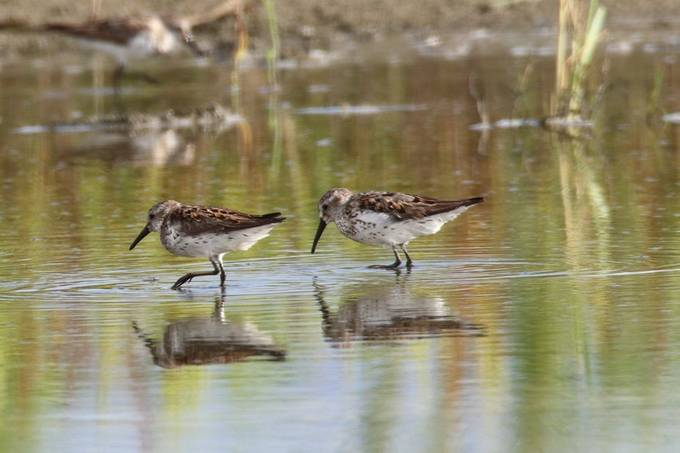 Wester Sandpipers