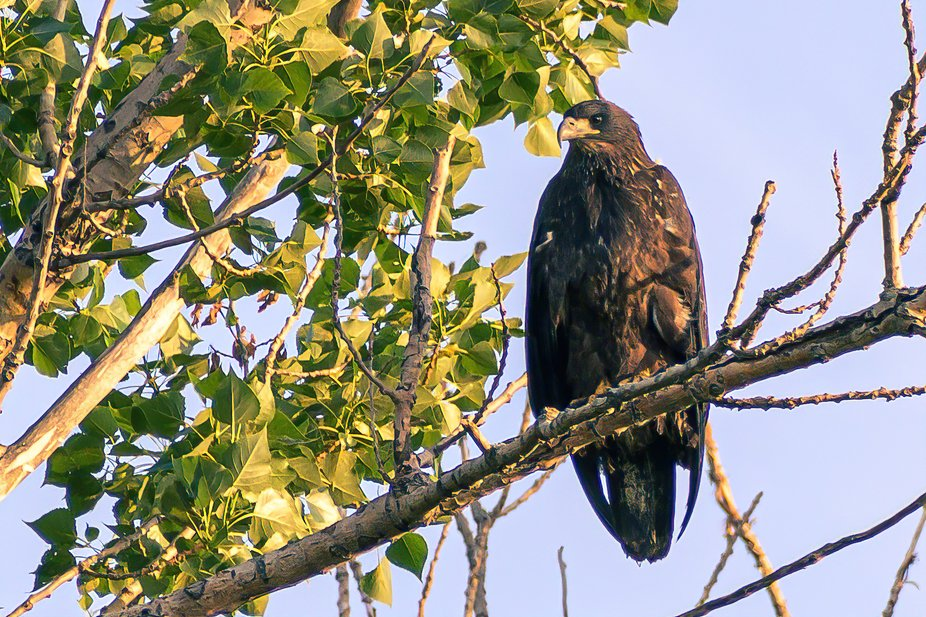 A younger eagle sitting in a tree across the road from Dupont in Kingston Ontario.