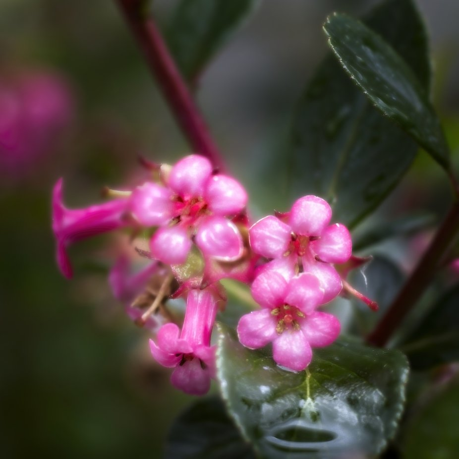 A bush in our yard produces these beautiful little pink flower bundles that the bees love...