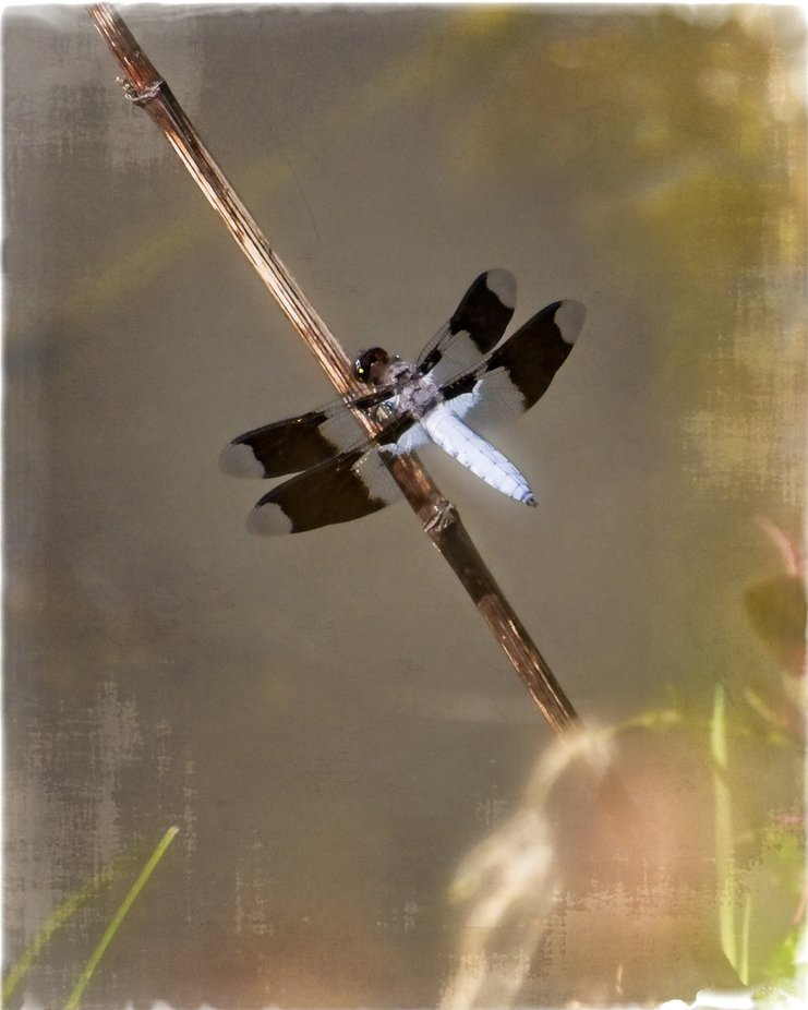 A blue body on this beautiful dragonfly at the pond in our neighborhood, Textured to give a painterly look.