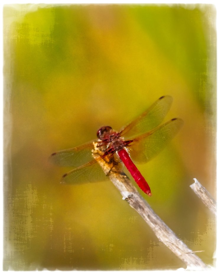 Bright red dragonfly at the pond in our neighborhood. Textured to give a painterly look,