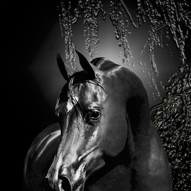 Image of Arabian Stallion PB Mai Kai Standing at Rainbow Bend Arabian Stud during a night photo session capturing the expressive power and beauty of this special horse.