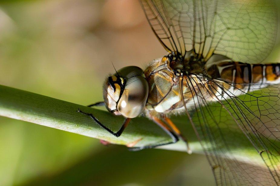 Dragonfly on a rose stem