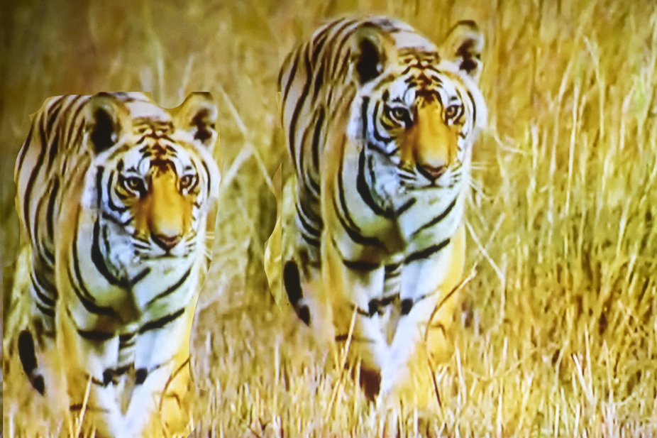 tigers, wild life reserve, Rajasthan, India