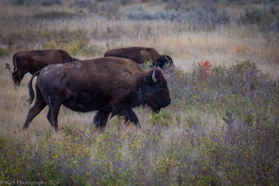 These beasts roam free in Theodore Roosevelt National Park in North Dakota.  Very imposing but be...
