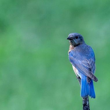 Bluebird in the early evening   DSC_1198