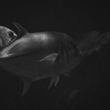 Ulua in aquarium in b/w