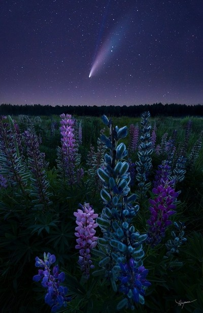 Neowise Lupines