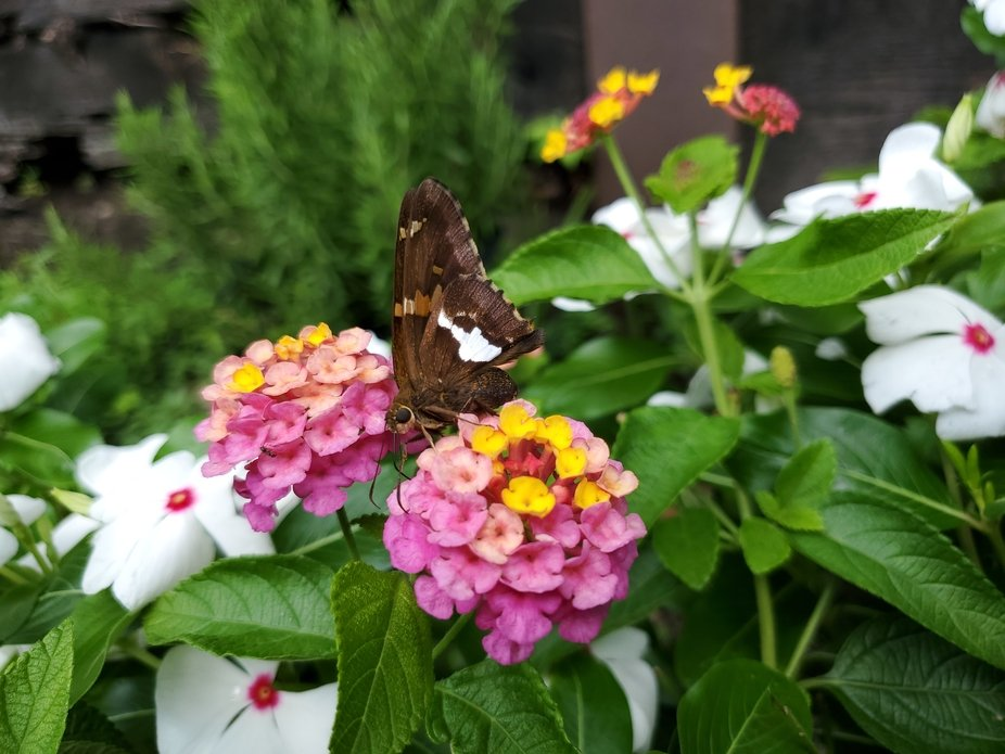 Lantanas and a butterfly