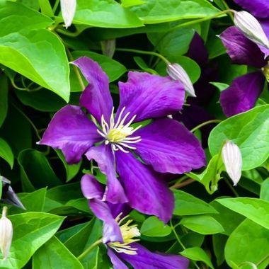 Purple climbing gems