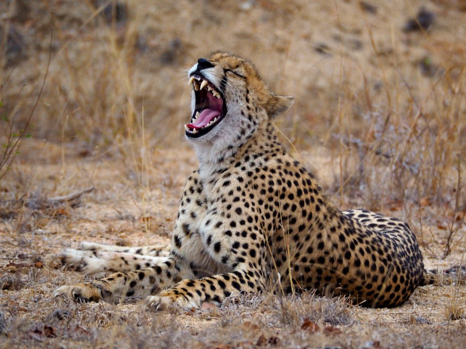 Sabi Sands Reserve, South Africa.  Apparently a cheetah had not been seen for at least a year in ...