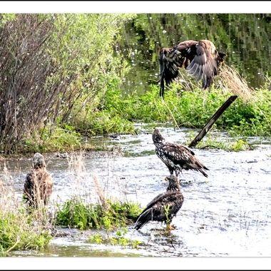 Eagles at Shumway Lake
