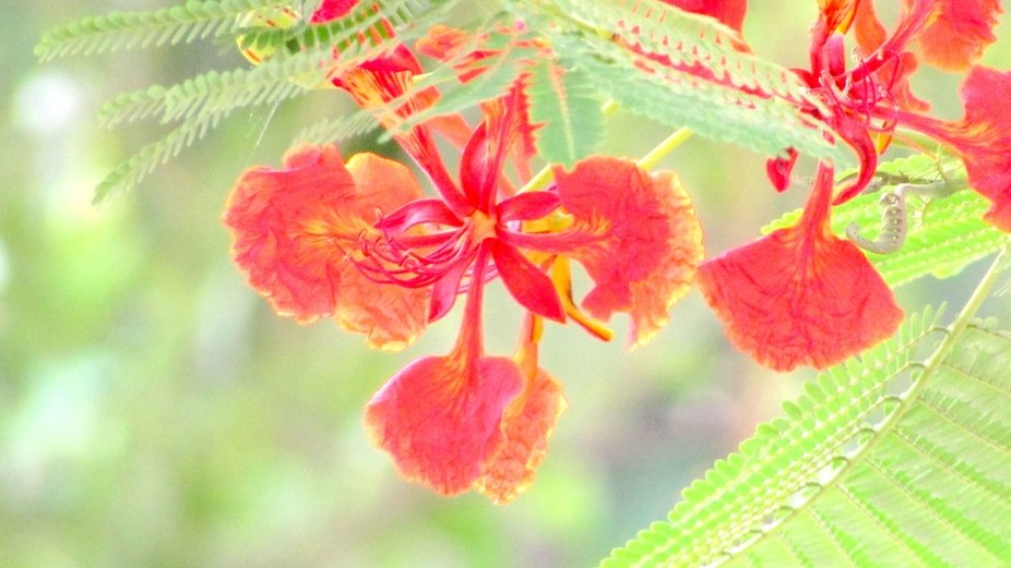 Gulmohar (Delonix regia) is a flowering tree and belongs to the bean family. In summer, the tree ...