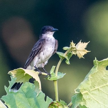 Kingbirds often perch high in a tree scanning the air for insects flying out to a catch and returning to the same perch before moving on to a new perch.