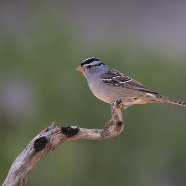 White-crowned Sparrow DSC03679