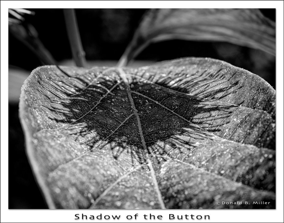 The shadow of a Button Bush flower on its own leaf. It was very sunny and the shadow looks like a...