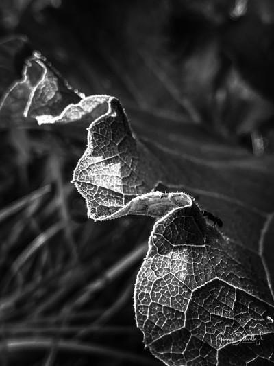 Leaf in B n W
