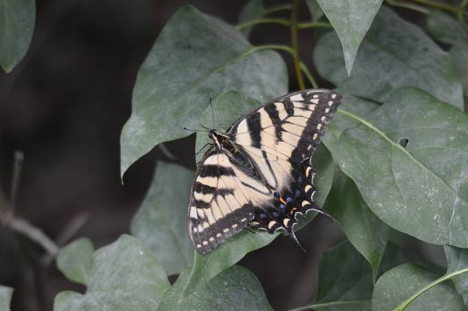 Canadian Tiger swallow tail