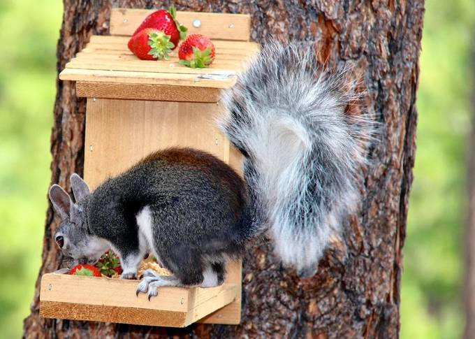 Got this squirrel feeder and the Abert Squirrels are to big.